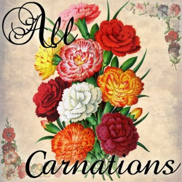 all carnations