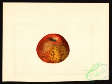 apple-00407 - 0152-Malus domestica-Ben Davis [4000x3006]