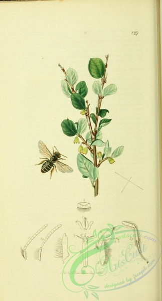 bees-00023 - 027-andrena