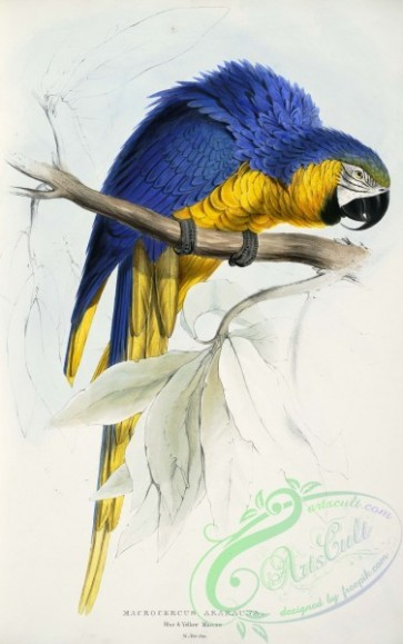 best_birds-00033 - Ara ararauna - Macrocercus ararauna Blue & yellow Maccaw -by Edward Lear 1812-1888 [2645x4213]