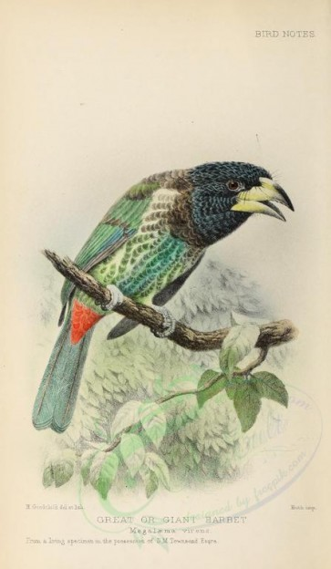 birds-02026 - Great or Giant Barbet, megalaema virens [1670x2868]