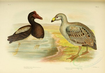 birds-09251 - Semipalmated Goose, Cereopsis Goose [4670x3254]