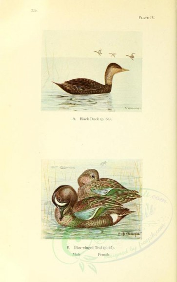 birds-09510 - Black Duck, Blue-winged Teal [2264x3591]