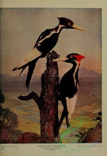 birds-12874 - Ivory-billed Woodpecker, campephilus principalis [3108x4547]