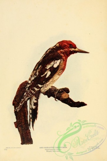 birds-26187 - Red-breasted Sapsucker, sphyrapicus ruber [2583x3879]