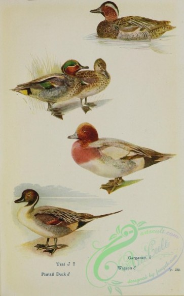 birds-32384 - Teal, Garganey, Pintail Duck, Wigeon