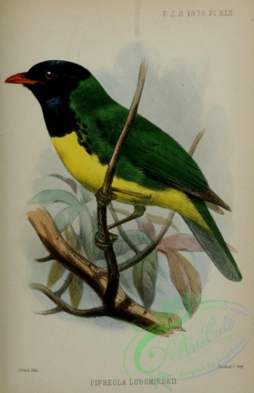 birds-32626 - Black-chested Fruiteater, pipreola lubomirskii