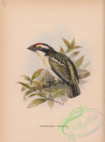 birds-37958 - Red-fronted Barbet, pogonorhynchus diadematus