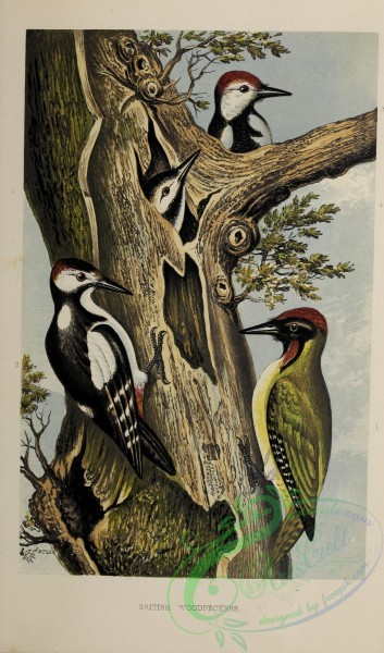 birds-42435 - British Woodpeckers
