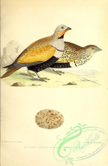 birds-45492 - 050-Large or Black-bellied Sand-Grouse, pterocles arenarius