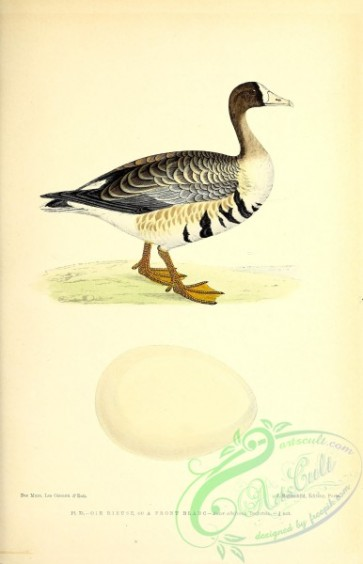 birds-45580 - 073-Greater White-fronted Goose, anser albifrons