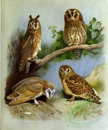 birds_by_thorburn-00053 - Long-eared Owl, Barn-Owl, Tawny Owl, Short-eared Owl