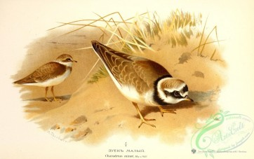 birds_of_russia-00076 - Little Ringed Plover, charadrius minor