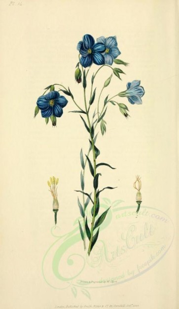 blue_flowers-00029 - 14-Narbonne Flax - linum narbonense [2001x3450]