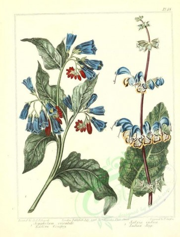 blue_flowers-00035 - Eastern Comfrey, Indian Sage - symphytum orientale, salvia indica [2348x3089]
