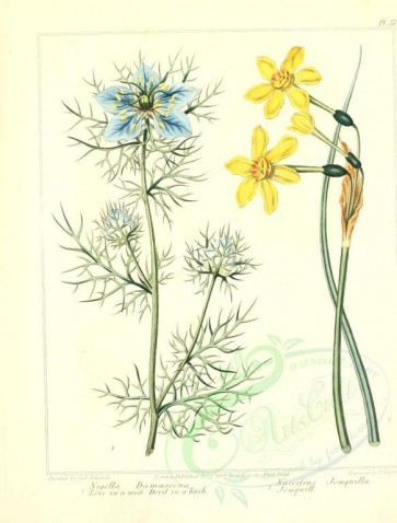 blue_flowers-00040 - Love in a mist Devil in a bush, Jonquill - nigella damascena, narcissus jonquilla [2348x3089]