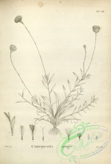 botanical-17572 - black-and-white 137-chrysocoma squamata