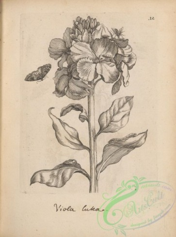botanical-18254 - black-and-white 012-viola lutea