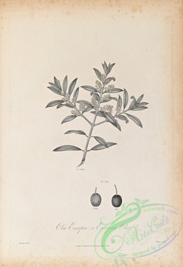 botanical-18647 - black-and-white 054-European Olive, olea europaea
