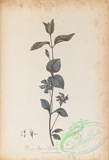 botanical-18664 - black-and-white 072-Greater Periwinkle, vinca major