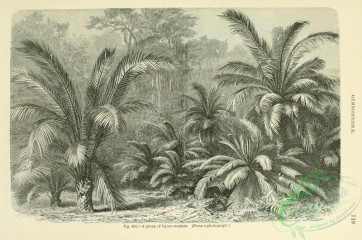botanical-19162 - black-and-white 002-cycas revoluta