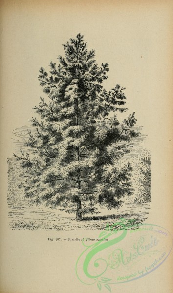 botanical-19242 - black-and-white 016-pinus excelsa