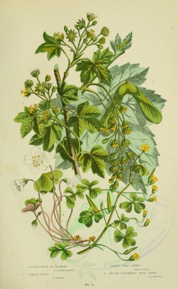 bouquets_flowers-00038 - 054-Greater Maple or Sycamore, Common Maple, Common Wood Sorrel, Yellow Procumbent Wood Sorrel - acer pseudo-platanus, acer campestre, oxalis acetosella, oxalis corniculata [2208x3566]