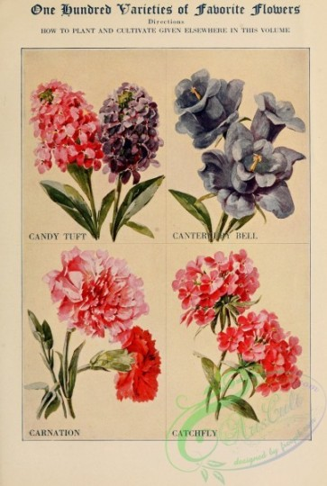 carnation-00105 - Candy Tuft, Canterbury Bell, Carnation, Catchfly [2422x3598]