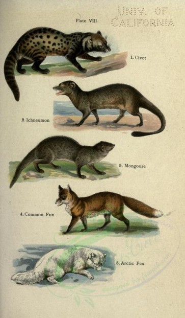 carnivores_mammals-00003 - Civet, Ichneumon, Mongoose, Common Fox, Arctic Fox [2396x4106]