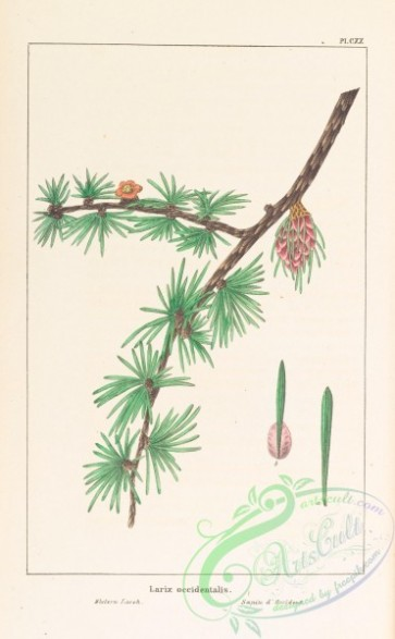 conifer-00178 - Western Larch, larix occidentalis [3295x5325]