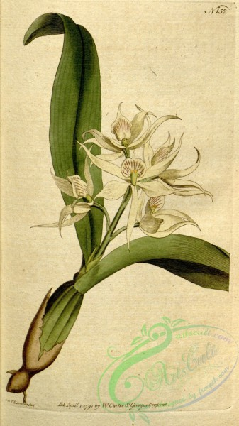 epidendrum-00313 - Prosthechea fragrans (as Epidendrum cochleatum Curtis)-Curtis 5-152 (1792)