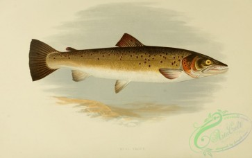 fishes_best-00011 - BULL TROUT