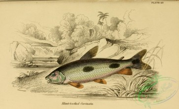 fishes_best-00119 - Blunt-toothed Curimata
