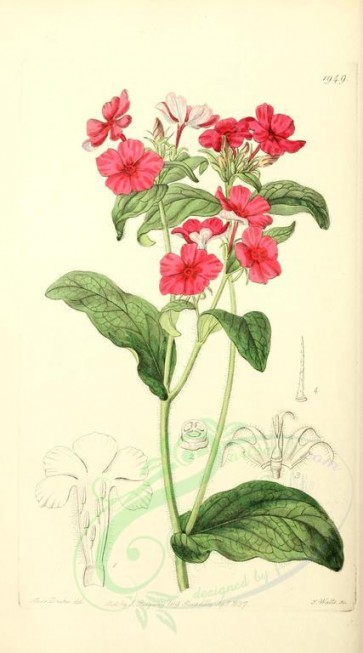 flowers-21813 - 1949-phlox drummondii, Mr Drummond's Phlox [1554x2795]