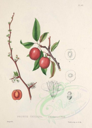 fruits-00815 - Chickasaw Plum, prunus chicasa [2713x3746]