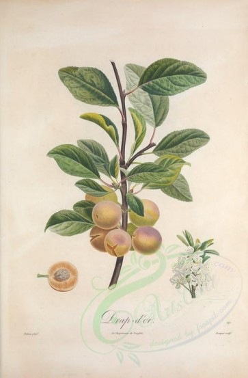 fruits-02458 - Plum, 15 [3357x5111]