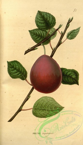 fruits-03282 - Plum [1955x3418]
