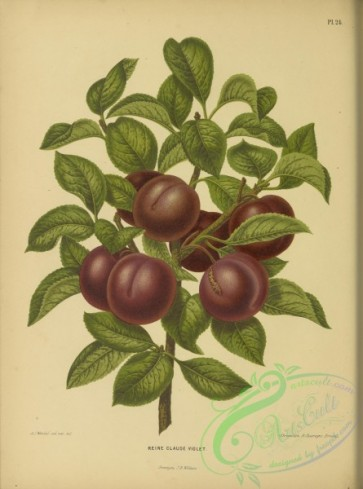 fruits-04499 - Plum
