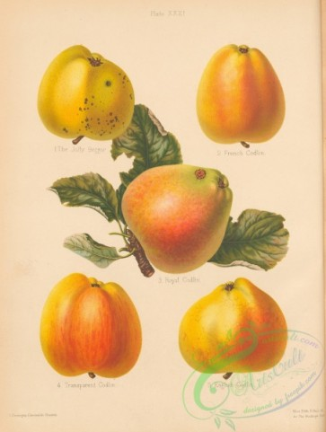 fruits-04795 - 001-Jolly Beggar Apple, French Codlin Apple, Royal Codlin Apple, Transparent Codlin Apple, English Codlin Apple