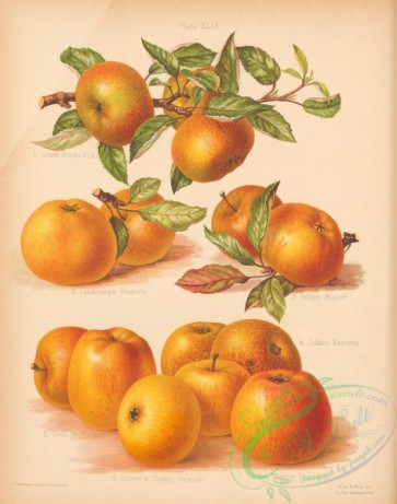 fruits-04813 - 019-Court Pendu-Plat Apple, Landsberger Reinette Apple, Golden Russet Apple, Golden Reinette Apple