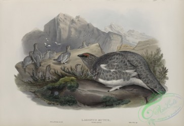 game_birds-00325 - 440-Lagopus mutus, Autumn plumage, Ptarmigan (autumn plumage)