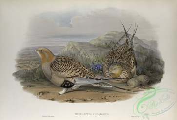 game_birds-00326 - 441-Syrrhaptes paradoxus, Pallas's Sand-Grouse