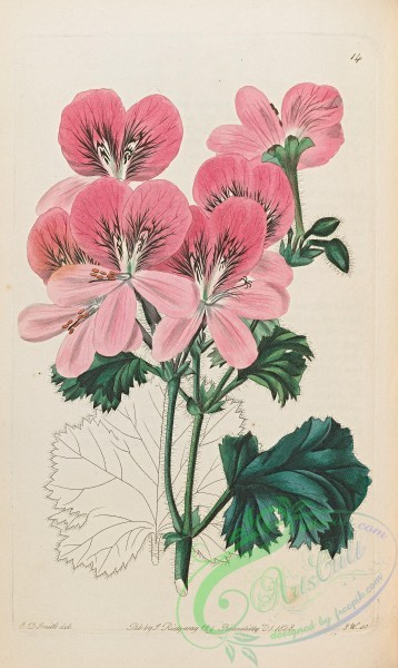 geranium-00114 - 014-Rose-petaled Stork's-bill, pelargonium rhodopetalon