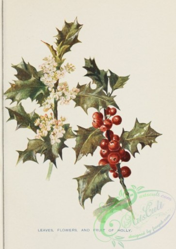 ilex-00013 - Holly leaves flowers and fruit