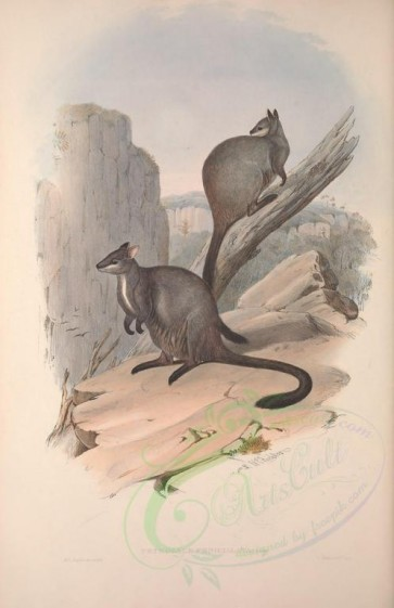 kangaroos-00015 - Brush-tailed Rock Wallaby [3601x5560]
