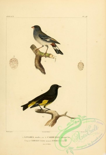 orioles-00062 - Band-tailed Seedeater, Black Siskin, American Goldfinch, icterus virescens