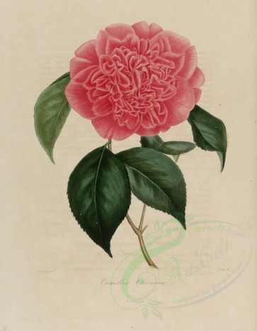 pink_flowers-00178 - camellia cliviana [2833x3644]