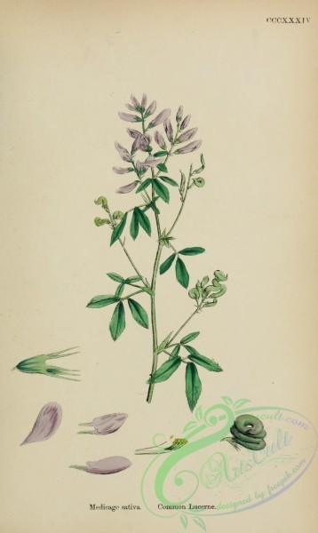 plants-27838 - Common Lucerne, medicago sativa [1627x2726]