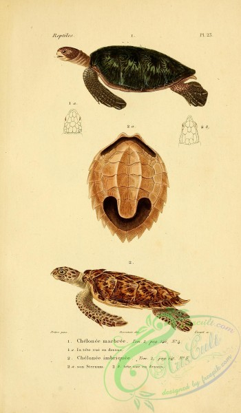 reptiles_and_amphibias-02242 - chelonee marbree, chelonee imbriquee