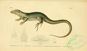 reptiles_and_amphibias-02264 - grand amciva